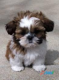 Shih Tzu cachorros para su adopción 0