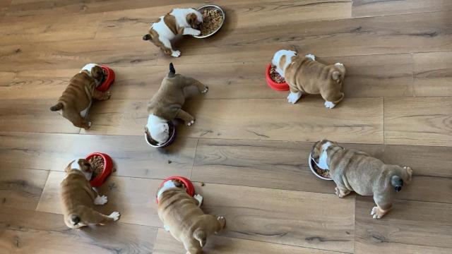 Encantadores cachorros de bulldog inglés para adopción 0
