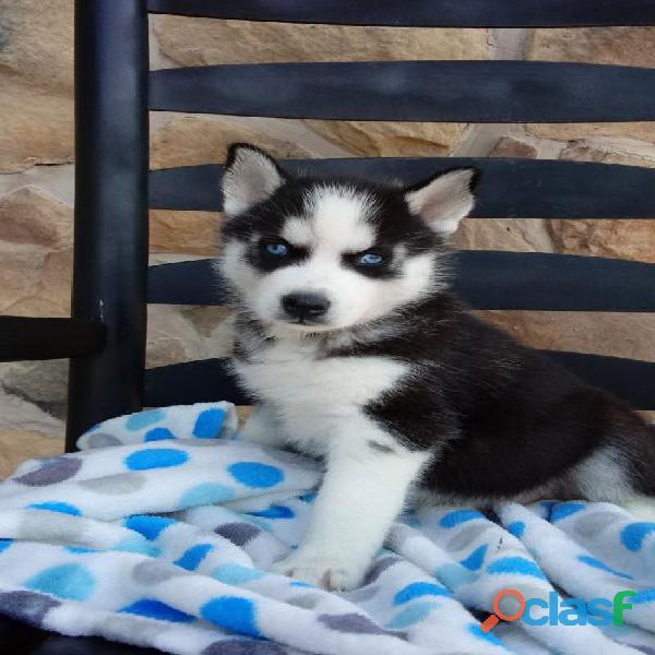 2 cachorros Siberian Husky disponibles