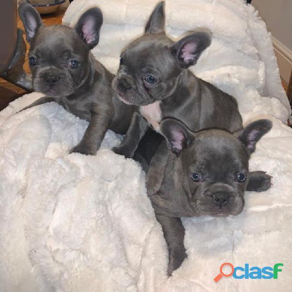 2 Hermoso azul y blanco de varios colores franceses Bulldog