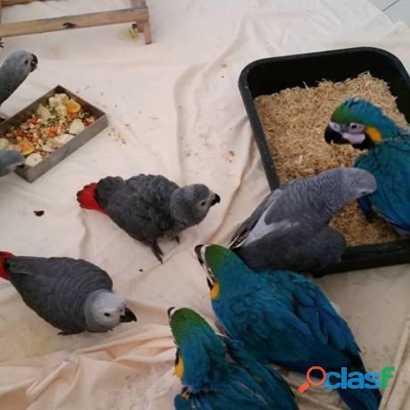 Emu,avestruces, loros guacamayos, cacatúas, loros grises, amazonas y huevos fértiles para la venta