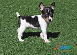 Cachorros de fox terrier para su adopción