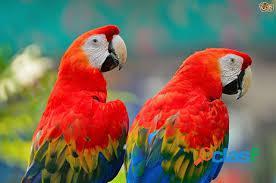 Adorable loro escarlata aves están en adopción