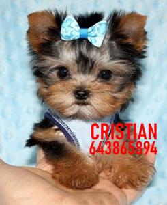 Cachorros yorkshire terrier toy negros fuego