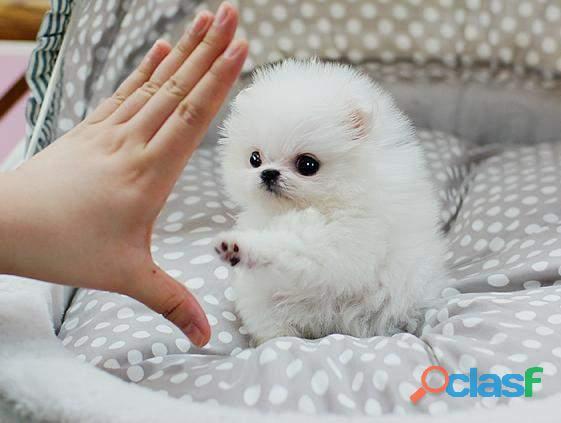 Sddsfds regalo machos y hembras cachorros de pomerania para adopcion