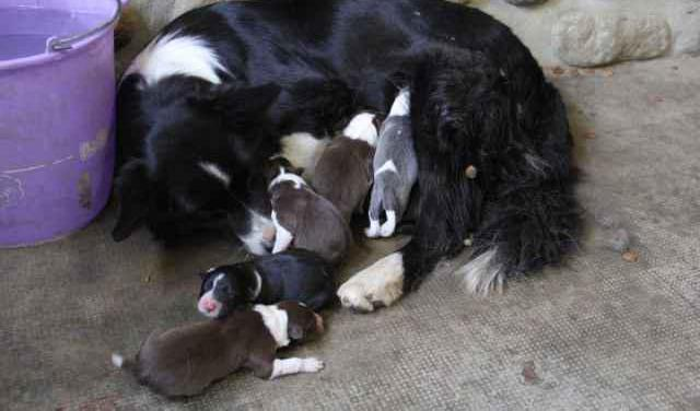 Border collies de raza