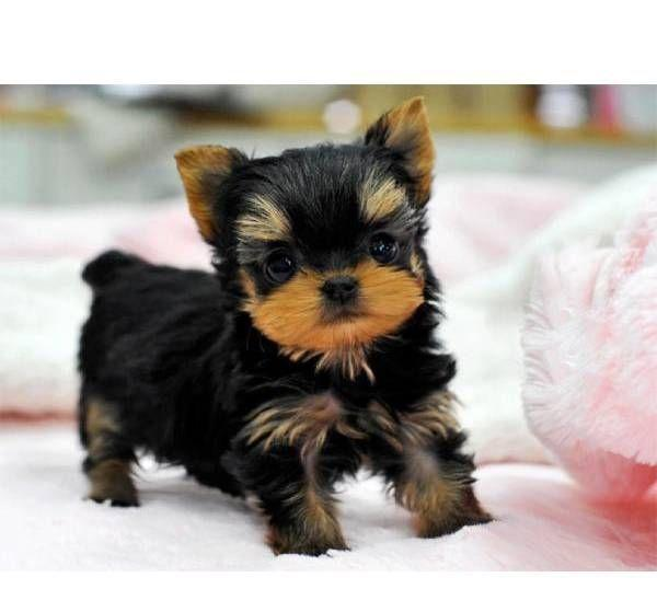 Regalo cachorros yorkshire terrier para adopcion