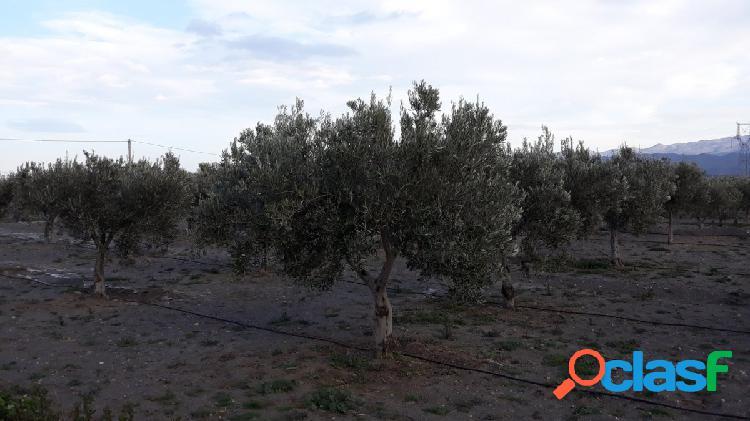 Finca de olivos con regadío-almacén y casa cortijo en tabernas
