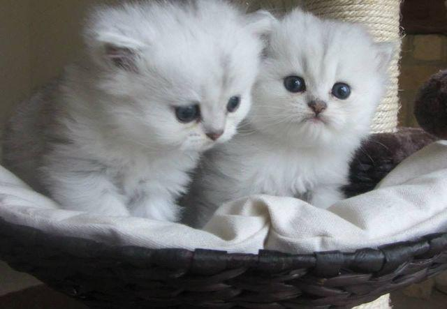 Chinchilla classic cream / gatitos persas blancos