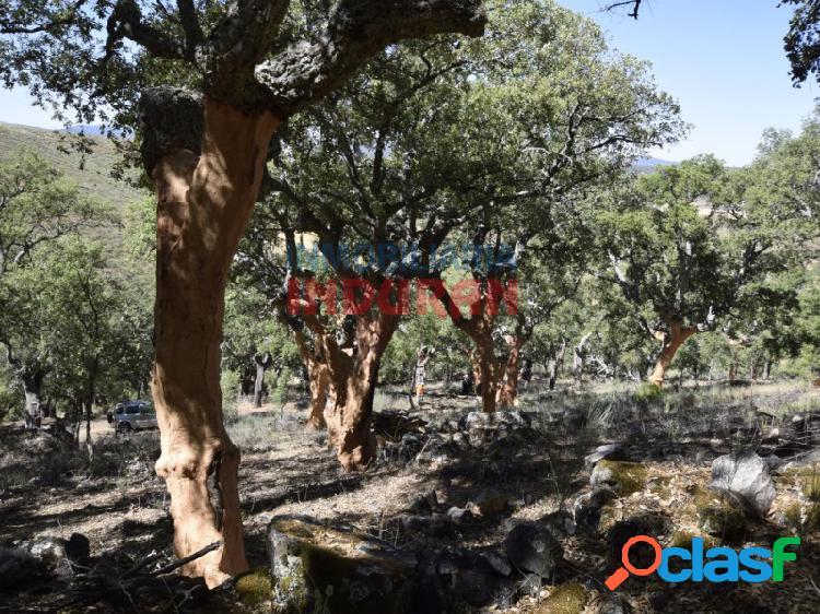 Finca declarada como alcornocal con una producción de unos 1450 quintales de corcho (cabañas del castillo, cáceres)