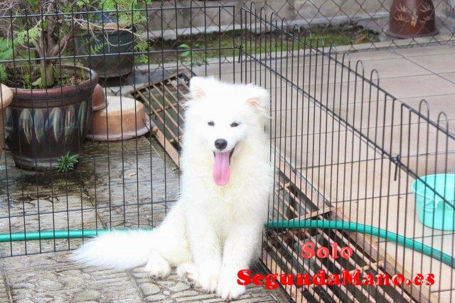 Regalo perrito samoyed