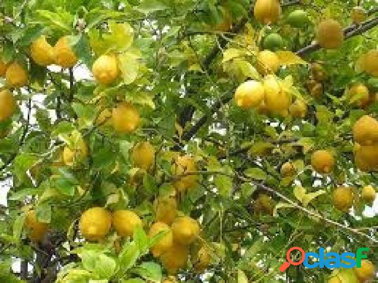 Finca rústica con 3 embalses,goteros,2 cabezales,goteros,vallada de 27,3 hectareas limones verna