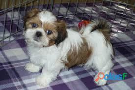 Shih Tzu cachorros para su adopción 1