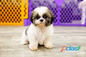 Shih Tzu cachorros para su adopción 2