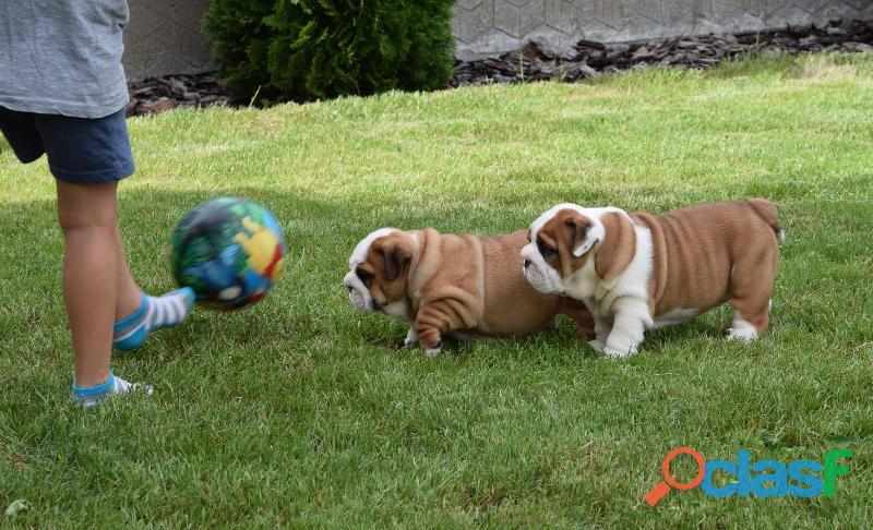 Hermosos y bien entrenados cachorros de bulldog inglés