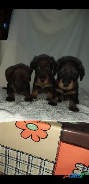 Cachorras teckel pelo duro con pedigrí