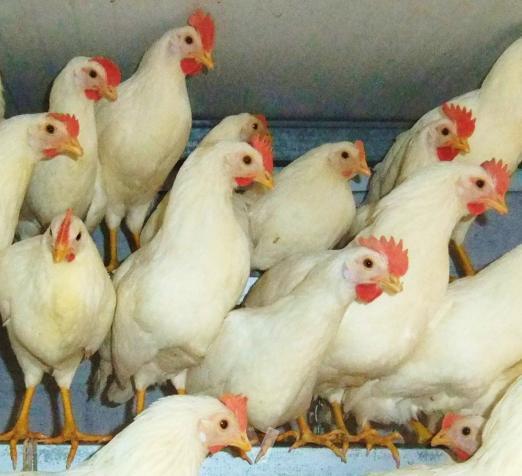 Las gallinas mas ponedoras del mundo