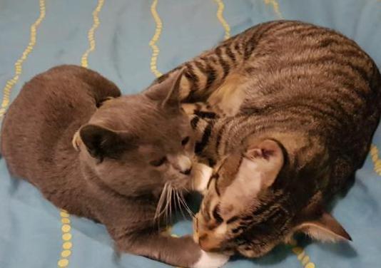 Atigrado y gris, adopcion conjunta 3 meses y 6 mes