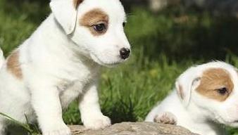 Cachorritos jack russell