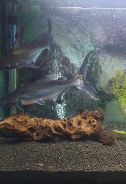Cambio tiburones pangasio