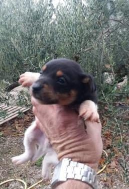 Cachorritos bodeguero andaluz