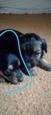Cachorro chihuahua con pincher