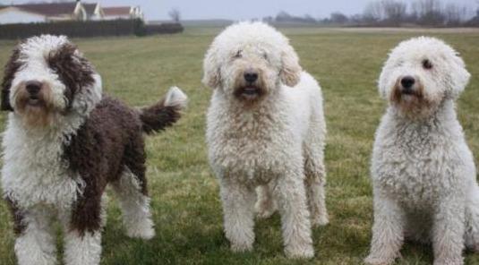 Cachorros de perro de agua