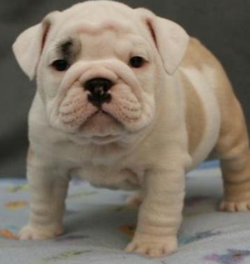 Cachorros de pura raza bulldog inglés