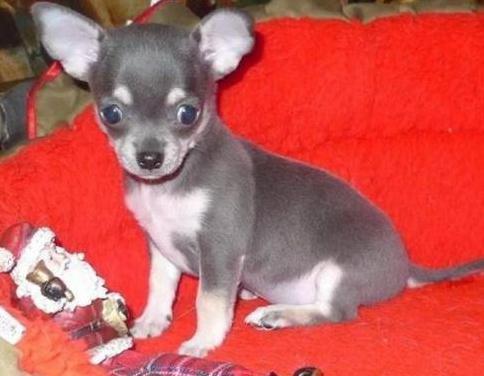 Chihuahua cachorros de 12 semanas de edad