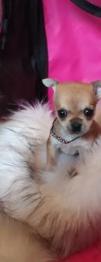 Chihuahua diminuta