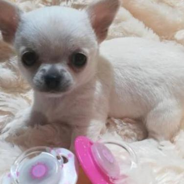 Chihuahua hembra blanca