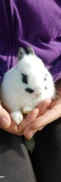 Conejo enano holandés