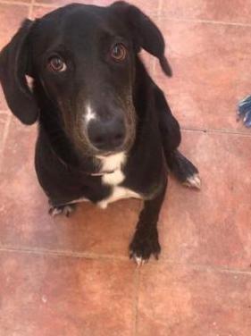 Labrador negro cachorro hembra