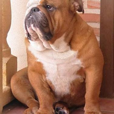 Macho de bulldog ingles mucha calidad