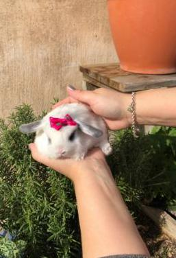 Pack jaula conejo belier mini lop