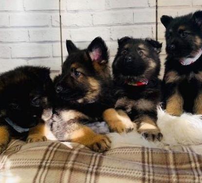 Perfecto cachorros de pastor alemán