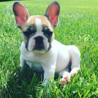 Adorable cachorro de bulldog francés