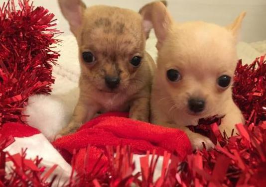 Cachorros de chihuahua con pedigree