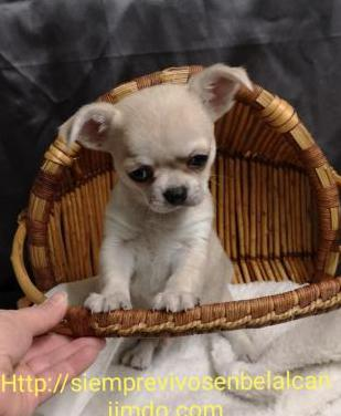 Chihuahua miniaturas