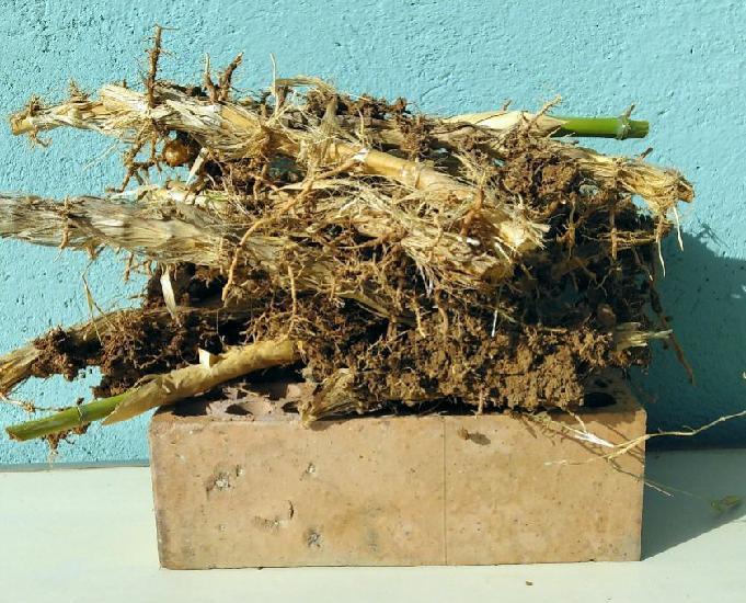20 raíces de bambús naturales