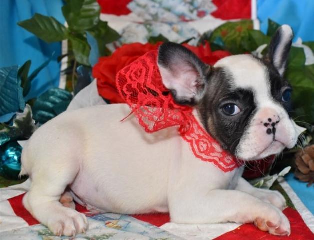 Cachorros bulldog francés en venta