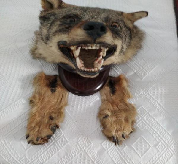 Cabeza de lobo español disecada
