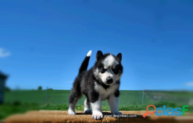 Cachorros de husky siberiano nacional