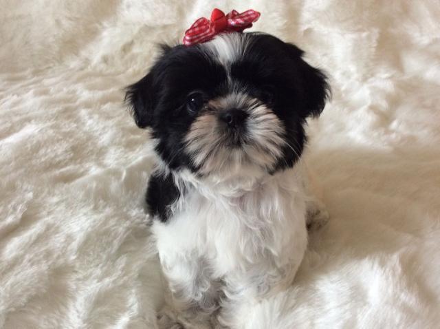 Cachorros shih tzu imperial miniatura americana