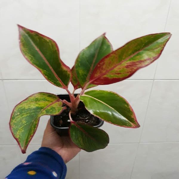 Planta aglanoema crete