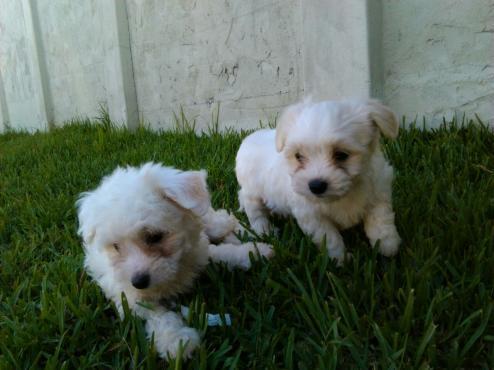 Regalo cachorros malteses listos para su adopción.