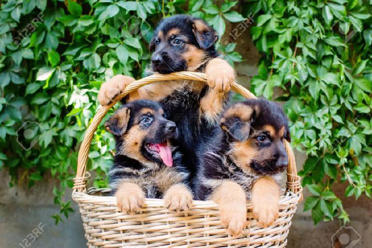 Cachorros de doberman