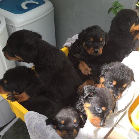 Regalo impresionate cachorros golden retriever para su