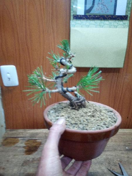 Bonsai pino tunbergui