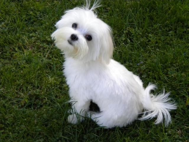 Regalo cachoros maltese buenos y bien entrenados para